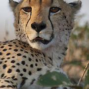 Portrait of Cheetah. Londolozi Private Game Reserve. South Africa.