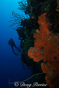divers on drop-off by vertical coral wall with whip coral and giant orange elephant ear sponge, Agelas clathrodes, southern Belize Barrier Reef, Belize, Central America ( Caribbean Sea )