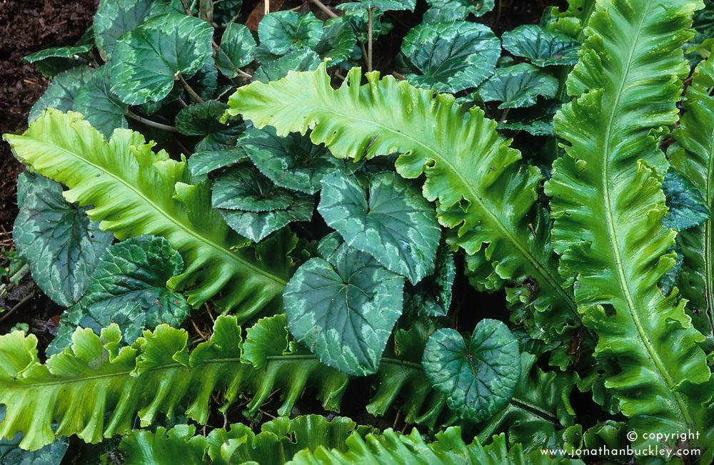 Cyclamen and Asplenium scolopendrium (Hart's tongue fern) foliage combination at Great Dixter