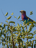 Lilac-breasted Roller in  Kruger NP, South Africa