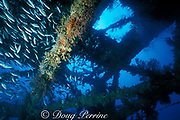 fish, sponges and gorgonians on Tenneco Towers, <br /> aka Texas Towers -- an oil rig that acts as an artificial reef, four years after sinking, Davie, Florida ( Western Atlantic Ocean )
