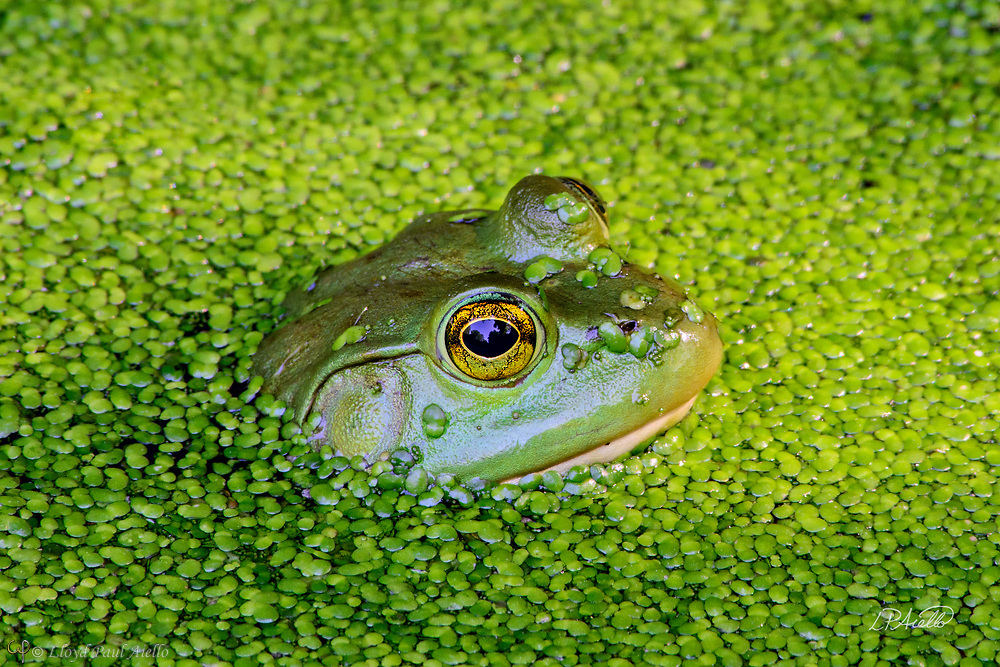 This American Bullfrog (Rana catesbeiana) is hiding in a small pond completely covered in Duckweed (Lemnaceae).  The bullfrog is native to eastern North America with a natural range from the Atlantic Coast to as far west as Oklahoma and Kansas.  However, it has been introduced elsewhere where it is considered an invasive species, including Arizona, Utah, Colorado, Nebraska, Nevada, California, Oregon, Washington, Hawaii, Mexico, Canada, Cuba, Jamaica, Italy, Netherlands, France, Argentina, Brazil, Uruguay, Venezuela, Colombia, China, South Korea and Japan.  In some areas, the bullfrog is used as a food source.  <br /> <br /> Bullfrogs are voracious, ambush predators that eat any small animal they can stuff down their throats. Bullfrog stomachs have been found to contain rodents, reptiles, amphibians, crayfish, birds, bats, fish, tadpoles, snails and their usual food – insects.  Bullfrogs are able to jump a distance 10x their body length.  The female lays up to 20,000 eggs at a time that form a thin, floating sheet which may cover an area of 0.5 -1 m2 (5.4 - 10.8 sq ft). The embryos hatch in 3 - 5 days. Time to metamorphize into an adult frog ranges from a few months in the southern part of their range to 3 years in the north where the colder water slows development.  Maximum lifespan in the wild is 8 - 10 years, but one bullfrog lived for almost 16 years in captivity.<br /> <br /> Duckweed (Lemnoideae) are small flowering aquatic plants which float on or just beneath the surface of still or slow-moving bodies of fresh water. These plants lack obvious stems or leaves, and depending on the species, each plant may have no root or one or more simple rootlets.  Reproduction is mostly by asexual budding, however, occasionally three tiny flowers are produced for sexual reproduction.  The flower of the duckweed measures a mere 0.3 mm (1/100th of an inch) long.