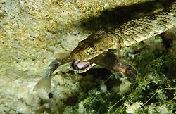 Natrix tessellata, Würfelnatter mit Fisch als Beute im Maul , dice snake, Norditalien