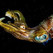 Caribbean reef squid (Sepioteuthis sepioidea) in eating small fish, Bahamas.