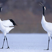 Japanese Crane or Red- crowned Crane, (Grus japonensis) Dance ritual.Hokkaido, Japan.