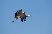 Israel, Coastal plains, White Stork (Ciconia ciconia) In flight