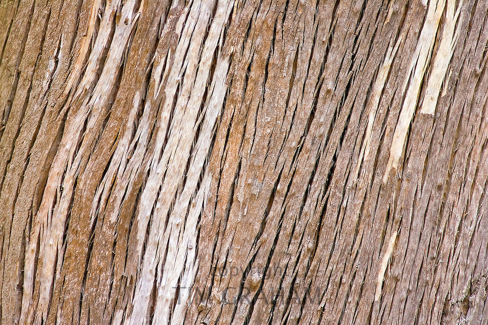Bark of the Forest Red Gum Tree, New South Wales, Australia