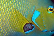USA, Vereinigte Staaten Von Amerika: Florida Aquarium, close-up von einem Franzoesischen Engelsfisch (Pomacanthus paru), Tampa, Florida | USA, United States Of America: Florida Aquarium, close-up of a French Angelfish (Pomacanthus paru), Tampa, Florida |