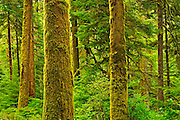 Anciant trees (old growth) in coastal temperate rain forest