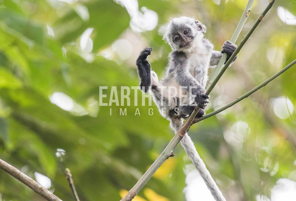Thomas Leaf monkey, Leuser Ecosystem, Sumatra, Indonesia.