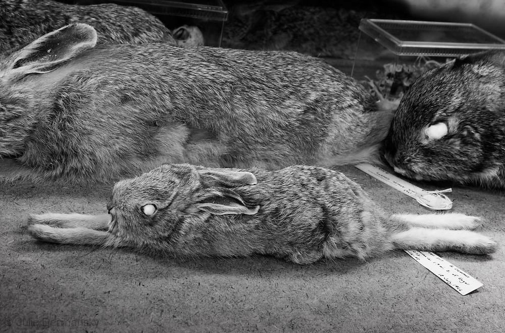 Rabbits in a draw at Tulane's Natural History Museum