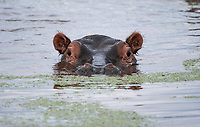 Hippopotamus, Hippopotamus amphibius, in Lake Manyara National Park, Tanzania