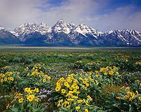 Meadows of Balsalmroot, Grand Teton National Park, Wyoming USA