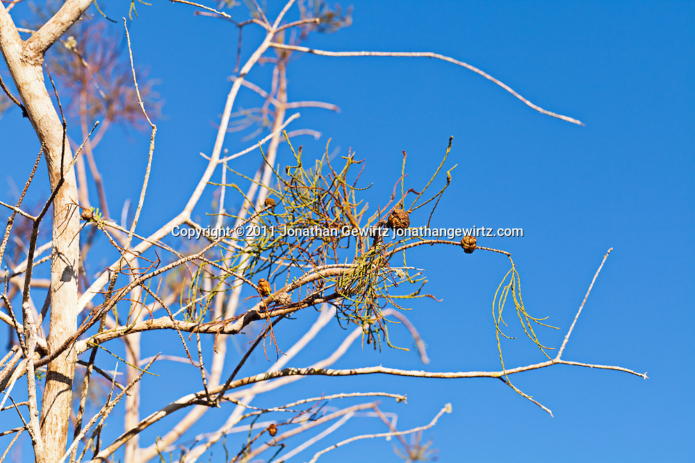 Branches of a cypress tree in Everglades National Park, Florida. WATERMARKS WILL NOT APPEAR ON PRINTS OR LICENSED IMAGES.