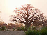 An old, large Baobab tree beside the thatched huts in the small village of Nyaro, of the Nuba tribe in Kordofan Region, Sudan