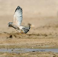 Levant Sparrowhawk - Accipiter brevpes
