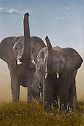 Elephants using trunks to sniff for danger, Serengeti National Park, Tanzania