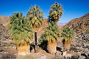 Desert palms at the 49 Palms Oasis (town of 29 Palms visible), Joshua Tree National Park, California