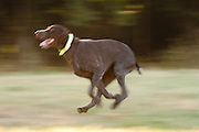 USA, Oregon, Keizer. dog park, German Short-haired Pointer (Canis lupis familiaris)