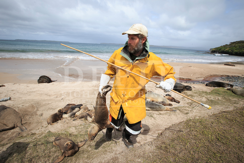 Wildlife Biologist Chris Muller retrieves a Phocarctos hookeri (New Zealand Sea Lion) pup to be tagged and microchipped at the Sandy Bay colony, Enderby Island, Auckland Islands, New Zealand. Tagging enables scientists to keep a track of movements and estimate population numbers.<br /> 12 January 2016. <br /> Photograph Richard Robinson © 2016