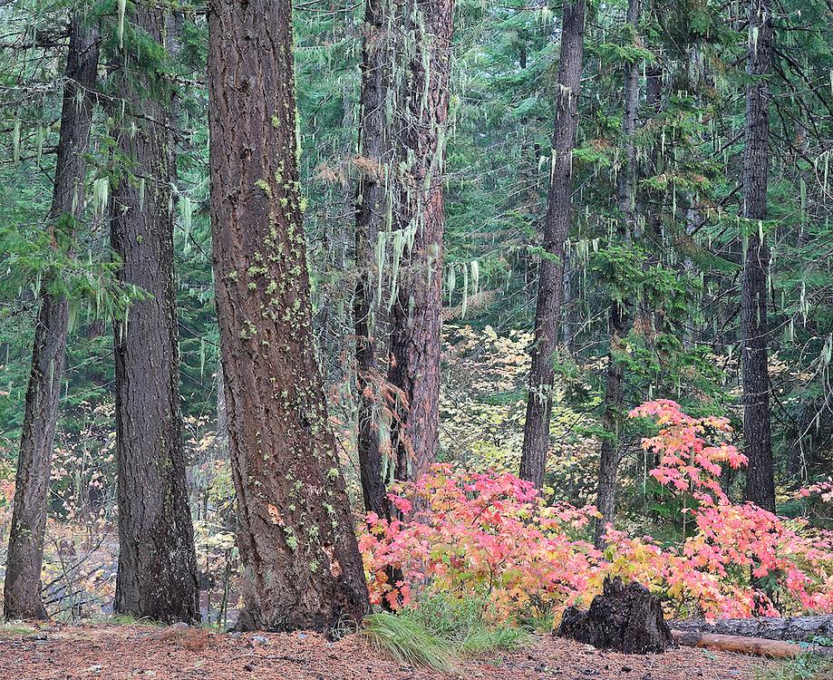 Autumn Vine Maples Among Ponderosa Pine