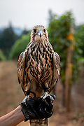 Sky Guardian's Falconry abatement for Oregon Vineyards