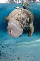 Florida manatee, Trichechus manatus latirostris, a subspecies of the West Indian manatee, endangered. A young manatee floats near a warm blue spring surrounded by fish, bream, Lepomis spp. The manatee is tolerating the fish attention as it is the price to pay for sharing the warm waters. Bream target dermis and dead skin on the manatee. Vertical orientation with blue water and light rays. Three Sisters Springs, Crystal River National Wildlife Refuge, Kings Bay, Crystal River, Citrus County, Florida USA.