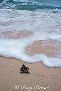 hawksbill sea turtle hatchling, Eretmochelys imbricata<br /> scambles across beach park toward the sea<br /> Turtle Islands Park, Sabah, Borneo, Malaysia  <br /> ( Celebes Sea )