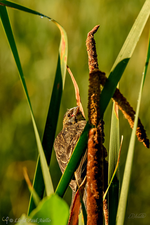 A young Red-winged Blackbird (Agelaius phoeniceus) perches amongst common cattails (Typha latifolia) at Great Meadows National Wildlife Refuge. <br /> <br /> The red-winged blackbird is found throughout most of North and much of Central America. It breeds from Alaska and Newfoundland south to Florida, the Gulf of Mexico, Mexico, and Guatemala, with isolated populations in western El Salvador, northwestern Honduras, and northwestern Costa Rica. It may winter as far north as Pennsylvania and British Columbia, but northern populations are generally migratory, moving south to Mexico and the southern United States. <br /> <br /> The red-winged blackbird has been considered the most abundant living land bird in North America, with more than a million birds per flock and the total number of breeding pairs across North and Central America exceeding 250 million in peak years. The red-winged blackbird is sexually dimorphic with the male being all black with a red shoulder and yellow wing bar, while the female is a nondescript dark brown. Red-winged blackbirds are polygynous, with territorial males defending up to 10 females. Seeds and insects make up the bulk of the red-winged blackbird's diet.<br /> <br /> Male red-wing blackbirds are 22–24 cm (8.7–9.4 in) long and weigh 64 g (2.3 oz).  Females are smaller.  The build their nests in cattails, rushes, grasses, sedge, or in alder or willow bushes. The nest is constructed entirely by the female over the course of three to six days. A clutch consists of three or four, rarely five, eggs. Eggs are oval, smooth and slightly glossy, and measure 24.8 mm × 17.55 mm (0.976 in × 0.691 in). They are incubated by the female alone, and hatch in 11 to 12 days both blind and naked.  However, they are ready to leave the nest 11 to 14 days after hatching.