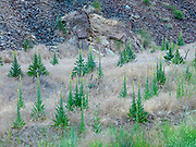 Common Mullein, Verbascum thapsus, native to Europe, northern Africa and Asia, growing in Leslie Gulch Area of Critical Environmental Concern, Oregon.