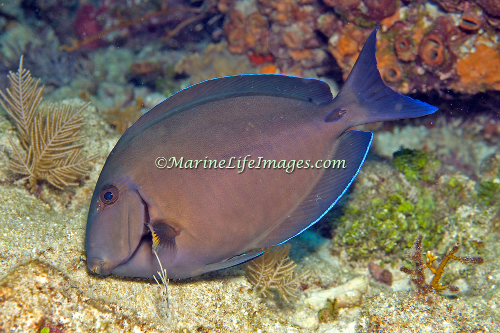 Doctorfish inhabit reefs in Tropical West Atlantic; picture taken Grand Cayman.