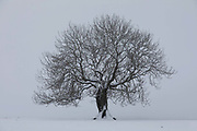 A tree stands in the falling snow on 14th of January 2021 in Stow, Scottish Borders, United Kingdom. The snow has been falling all night and morning and the landscape is covered in the first real snow of the year.