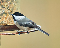 Black-capped Chickadee (Poecile atricapillus). Image taken with a Nikon D5 camera and 600 mm f/4 VR lens