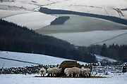 Sheep feeding in a snowy field on 3rd of January 2021 in Stow, Scottish Borders, United Kingdom. The sheep live outside most of their lives, and during winter when the field is covered in snow, they eat hay from feeding stations. The sheep belongs to farmer Stewart Runciman who has 800 sheep in the fields above Stow village.