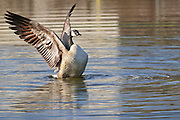 A Canada goose (Branta canadensis) flexes its wings in a small pond in northern Colorado.