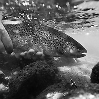 A brown trout being released back into the Deschutes River.