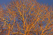 Poplar (Populus sp.) trees at sunset, Winnipeg, Manitoba, Canada