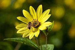 Bee on Helianthus 'Lemon Queen' AGM