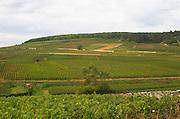 Vineyard. And hilltop, Corton. Aloxe Corton, Cote de Beaune, d'Or, Burgundy, France
