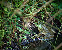 Harvey the Bull Frog in the Pond. Image taken with a Fuji X-T2 camera and 100-400 mm OIS telephoto zoom lens