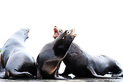 """Very entertaining barking"""" California Sea Lions in Fanny Bay on Vancouver Island, British Columbia, Canada."""