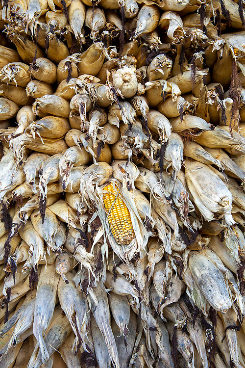 A wall of corn on the Cobb drying on the rooftop of small building on the 3rd of March 2020 in Raniswara, Ghairung, Gorkha, Nepal.