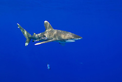 Oceanic Whitetip Shark, Carcharhinus longimanus, and Pilot Fish, Naucrates ductor, off Kona Coast, Big Island, Hawaii, Pacific Ocean.