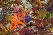 starfish and seaweed along the Pacific Coast Line as the tide recedes<br />