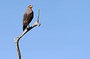 Savannah hawk (Buteogallus meriodionalis), Pantanal, Brazil.