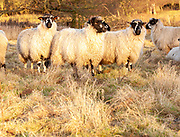 Sheep with thick wooly winter coat in field, Sutton, Suffolk, England, UK