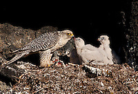 Falco rusticolus; Gyrfalcon; Iceland; Thingeyjarsyslur