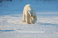 01874-13608 Polar Bear (Ursus maritimus)  Churchill Wildlife Management Area, Churchill, MB