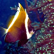 Humphead Bannerfish inhabit reefs. Picture taken Raja Ampat, Indonesia.