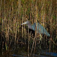 Little Blue Heron at Merritt Island Wildlife Refuge. Image taken with a Nikon D3 and 70-200 mm f/2.8 VRII + TC-E III 20 teleconverter (ISO 200, 400 mm, f/5.6, 1/1600 sec).